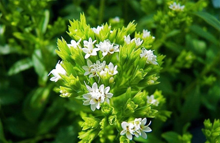 Лекарственное растение Стевия